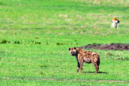 Young spotted hyena or crocuta in savannah