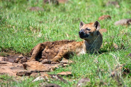 Spotted hyena or crocuta rests in savannah