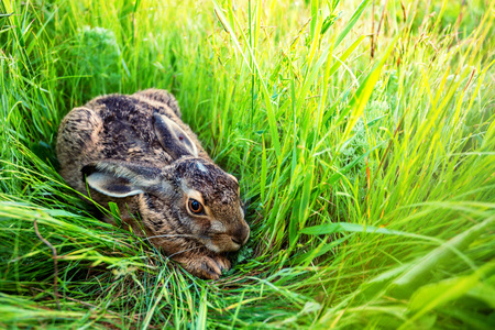 European hare or Lepus europaeus sits in a meadow Stock Photo