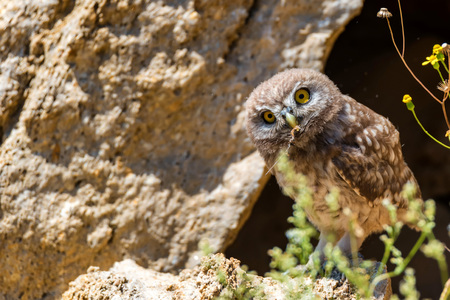 Little owl or Athene noctua on rock Stock fotó