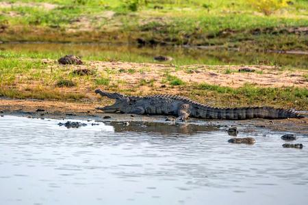 Mugger crocodile or Crocodylus palustris on river bank Stock Photo
