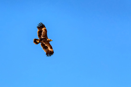 Steppe eagle or Aquila nipalensis in sky