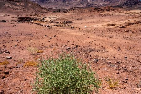 Camel thorn or alhagi bush in desert close Stock Photo