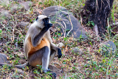 Gray langur or Hanuman langur sits on the ground and eats something
