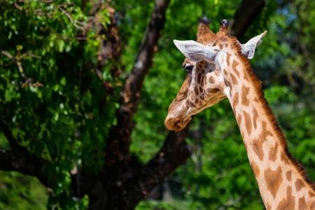 Close up head of Kordofan giraffe or camelopardalis antiquorum Banco de Imagens