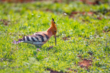 Eurasian hoopoe or Upupa epops in sits in grass in steppe