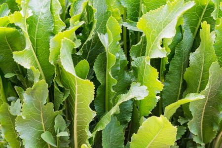 Horseradish or Armoracia rusticana leaves close in the summer garden 写真素材