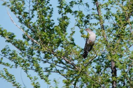 Cuckoo or Cuculidae on tree branch against blue sky