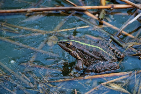 Close view dark green frog sits in river water Stock Photo