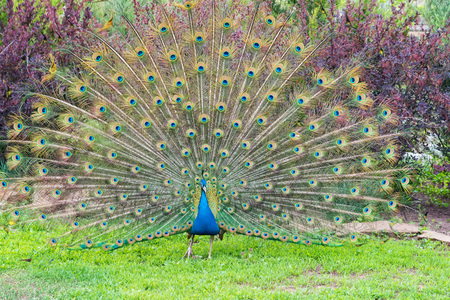 Close up male peacock with fully unfolded feathers of his tail Stock Photo