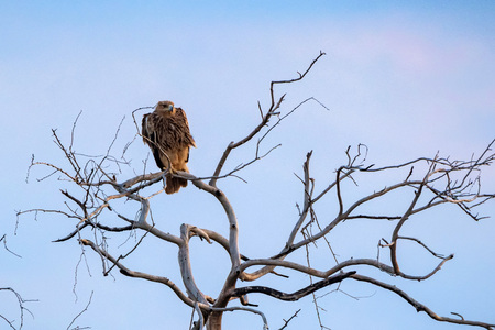 Steppe eagle or Aquila nipalensis perches on dry tree