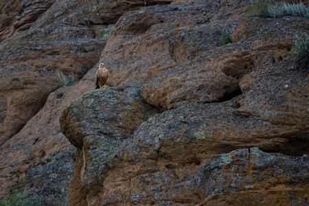 Long-legged Buzzard or Buteo rufinus sits on rock