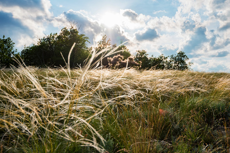 Silver feather grass swaying in wind in steppe beautiful summer landscape