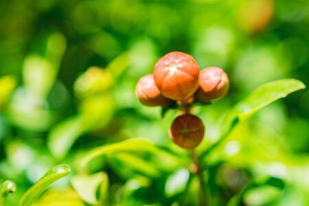 Close up small unripe pomegranate fruit on tree Фото со стока
