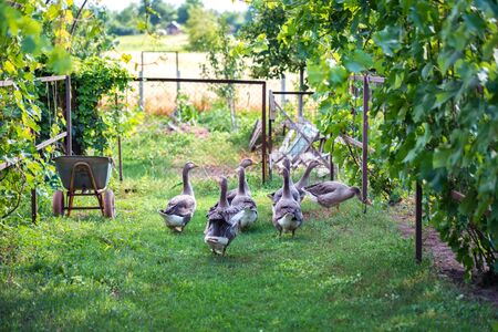 Several domestic geese walking in backyard