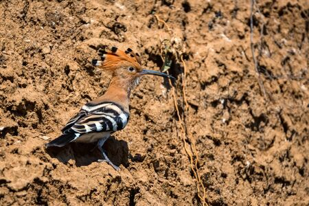 Common hoopoe or Upupa epops on dry rock