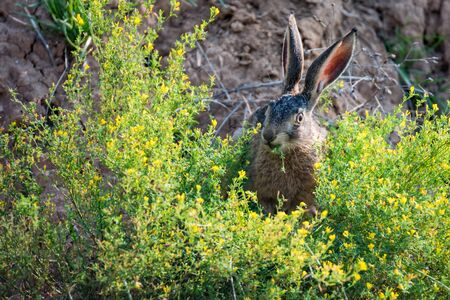 Close up scared European hare or Lepus europaeus in nature