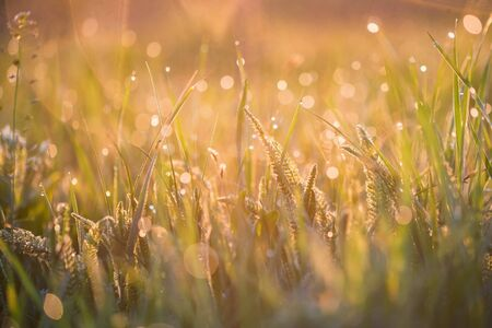 Beautiful background with morning dew on grass close Stok Fotoğraf