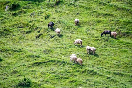Flock of sheep grazes on a green meadow pasture in mountains. Distant view