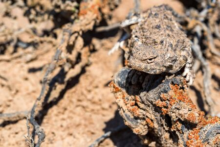 Close up view of Phrynocephalus helioscopus sitting on dry tree covered with lichen