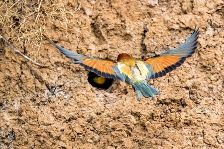 Back view European bee-eater or Merops apiaste flies up to its hole Stok Fotoğraf