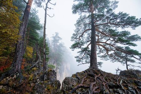 Foggy forest trees in the mountains
