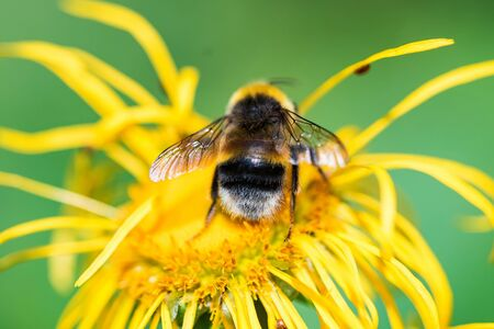Close up bumblebee sits on yellow flower with green blurred