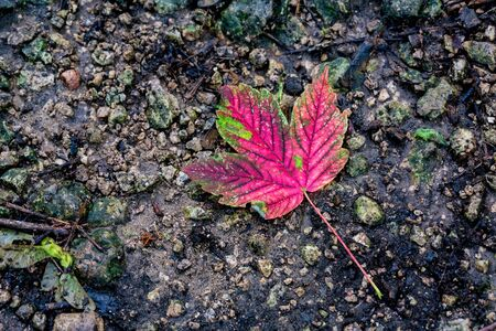 Single red fallen leaf on dark ground 스톡 콘텐츠