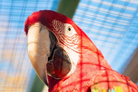 Green-winged macaw or Ara chloroptera close up Stockfoto - 129111746