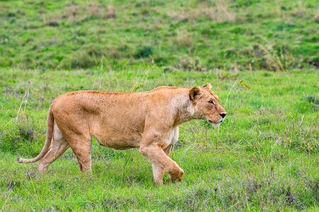 Lioness or Panthera Leo walks in green savannah Фото со стока - 131994627