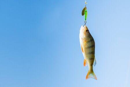 Close up single perch fish on hook against sky. Fishing concept Фото со стока - 131065442