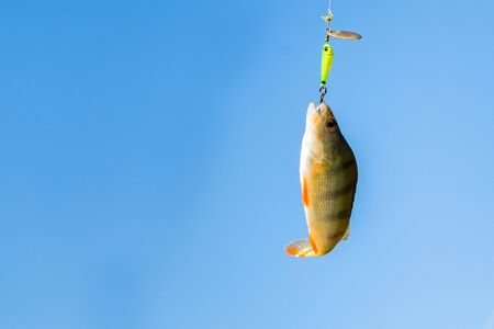 Close up single perch fish on hook against sky. Fishing concept