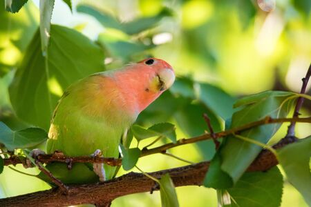 Rosy-faced lovebird perches on branch close up Фото со стока - 131065446