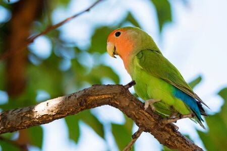 Rosy-faced lovebird perches on branch close up Фото со стока - 131065448