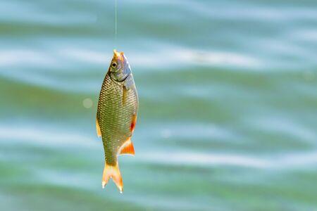 Close up single common rudd fish on hook. Fishing concept