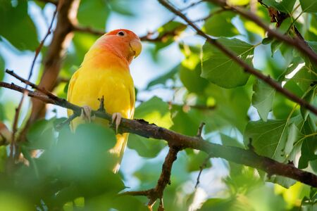 Rosy-faced lovebird perches on branch close up Фото со стока - 131065507
