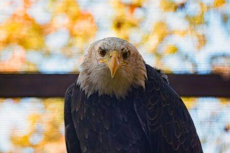 Portrait of bald eagle or haliaeetus leucocephalus Фото со стока