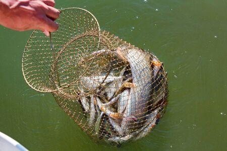 Freshwater fish caught in a fishing trap close Фото со стока - 131066307