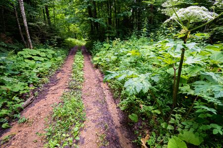 View of path in summer forest with lush wild vegetation on sides on sunny day Фото со стока - 131066310