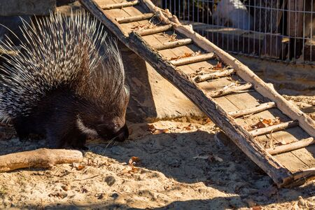 Close up Crested porcupine or Hystrix indica in captivity