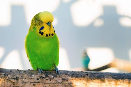 Close up green and yellow budgerigar or Melopsittacus undulatus perching