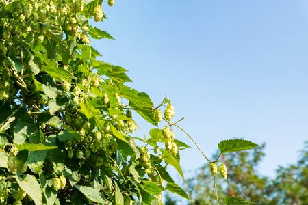 Beautiful green hop cones growing in nature