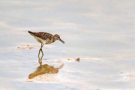 Wood sandpiper or Tringa glareola walks on lake