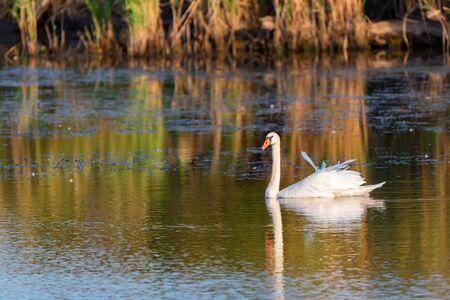 Mute swan or Cygnus olor swimming in lake