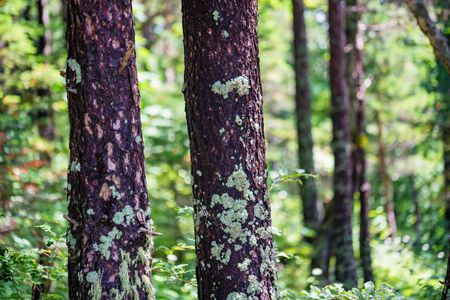 VariouTree trunks with lichen in summer forest view Banco de Imagens
