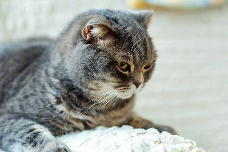 Close-up of grey British Shorthair cat portrait Banco de Imagens