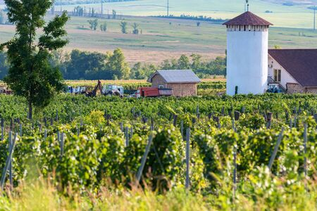 Beautiful vineyard on sunny day. Agricultural wine making concept Фото со стока - 130636370