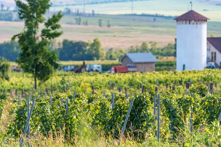 Beautiful vineyard on sunny day. Agricultural wine making concept Фото со стока - 130636371