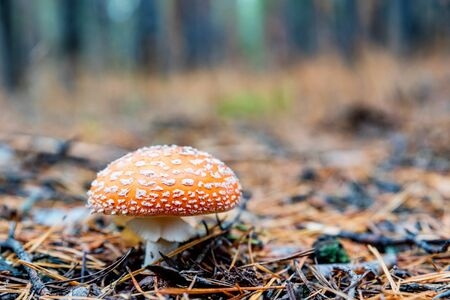 Close up of single mushroom of fly agaric or Amanita Muscaria in autumn forest with fir needles on the ground Фото со стока - 132348554