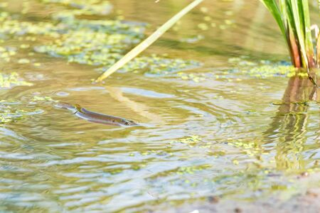 Northern pike fish swimming in river. Nature and fishing concept